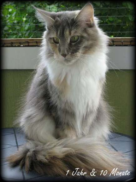 Maine Coon The Foreigner Kitten